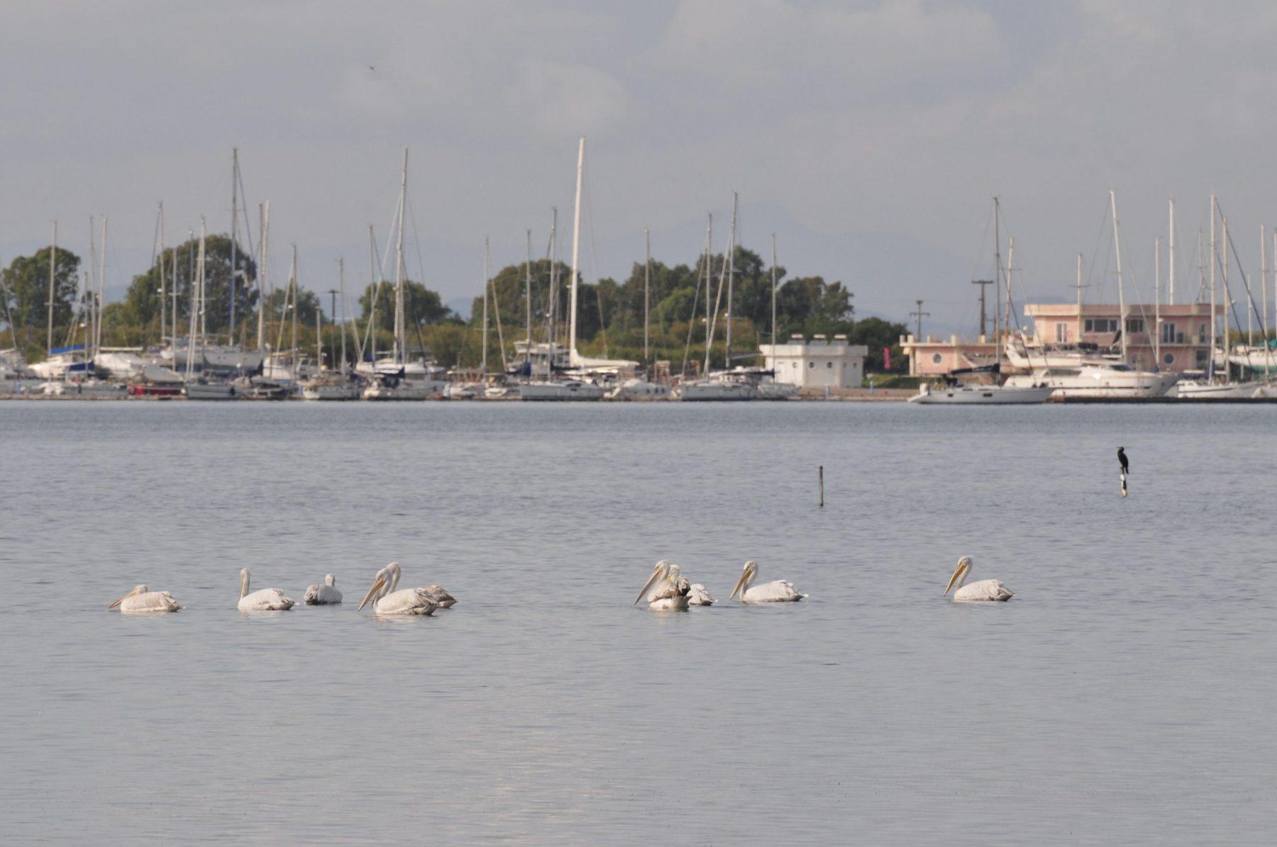 Pelikane 2